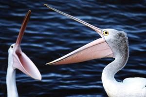 kangaroo_pelicans1